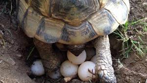 Черепаха откладывает яйца