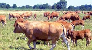 Телята в стаде коров