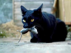 Чёрный кот поймал мышь