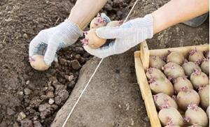Посадка картошки