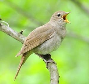Щебетание птицы