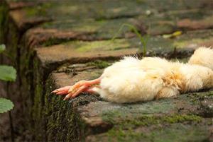 Мёртвый цыплёнок