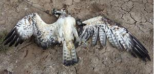 Убитая хищная птица