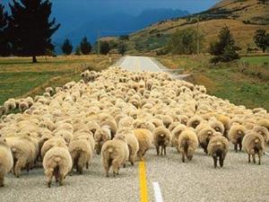Стадо баранов и овец