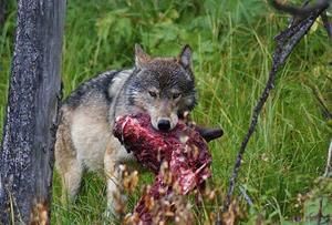 Волк растерзал овцу