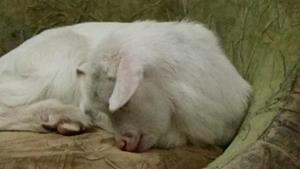 Спящий козлёнок