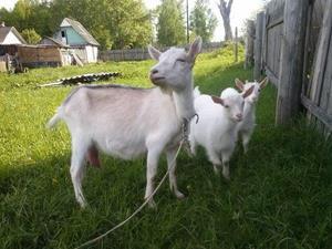 Коза с детёнышами