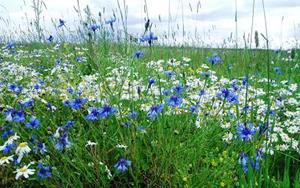 Ромашки с другими полевыми цветами