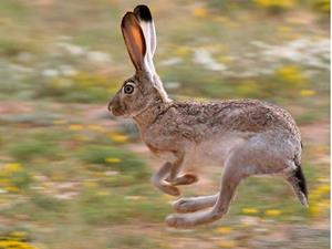 Прыгающий заяц
