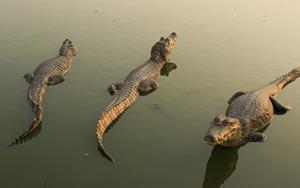 Крокодилы в воде