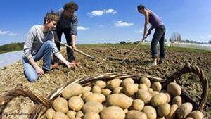 Копание картошки