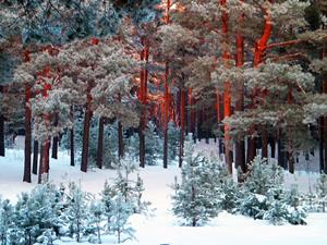 Зимний сосновый бор