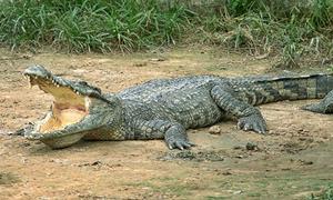 Агрессивный крокодил