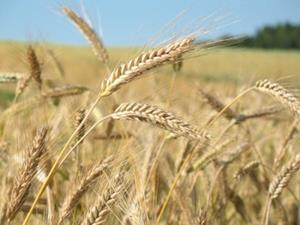 Пшеничный колос