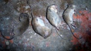 Мёртвые мыши