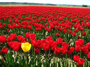 Жёлтый тюльпан среди красных